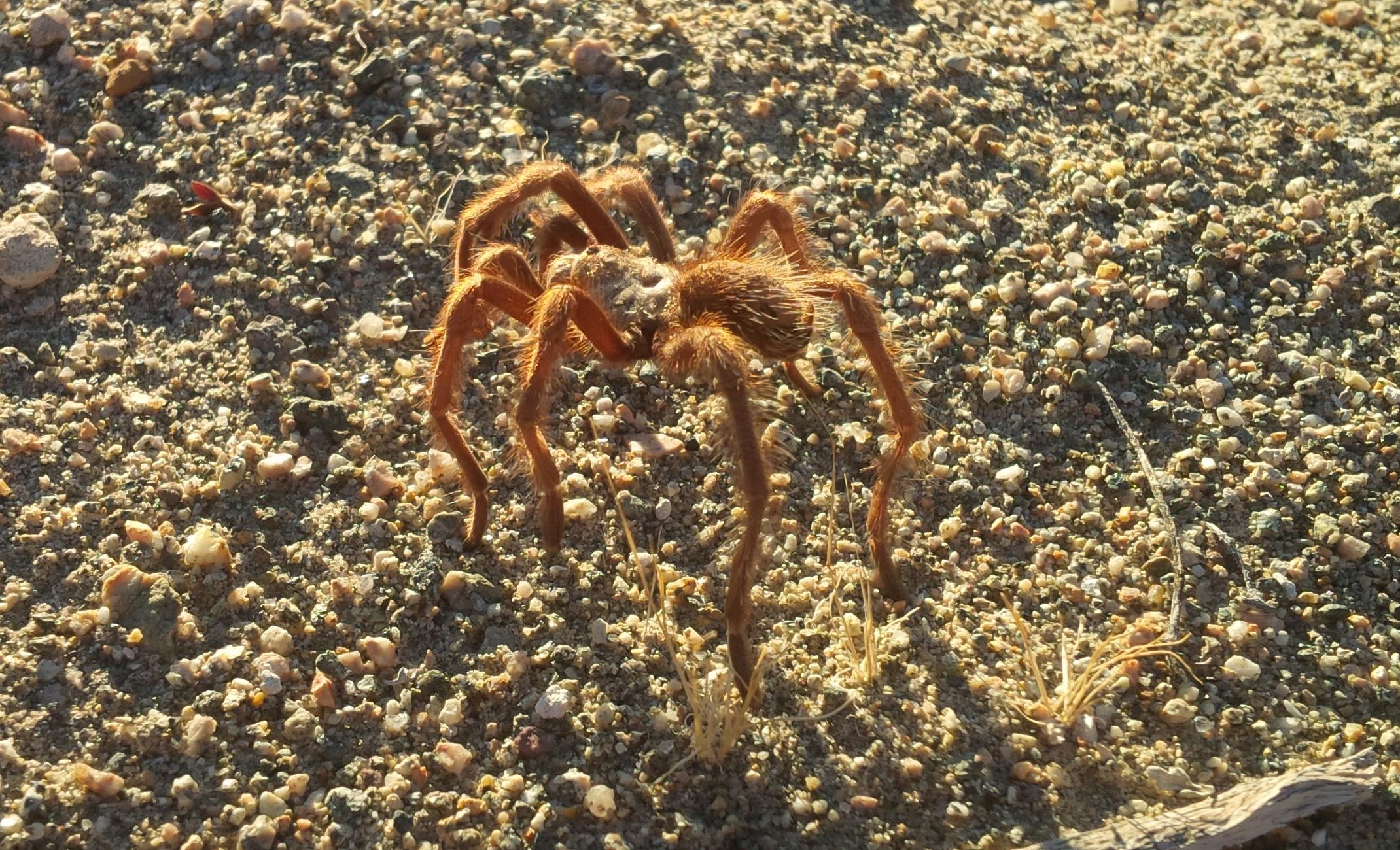 Brown Tarantual - Mohave Desert