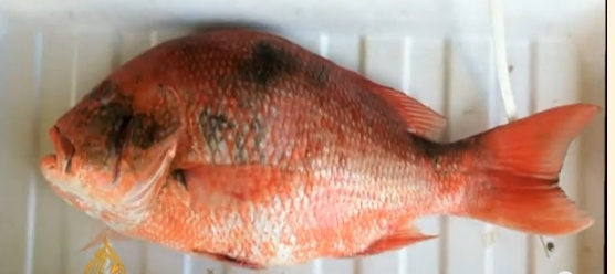 Lesions on Snapper