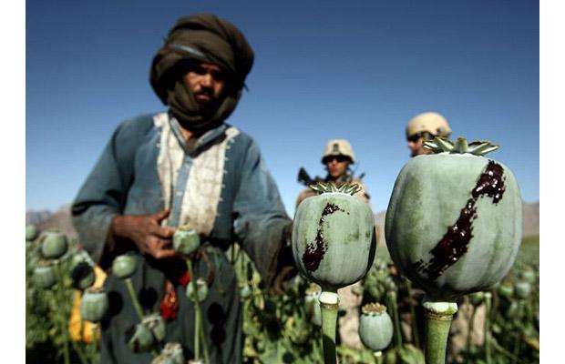 opium crop - Afghanistan