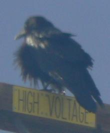 High Voltage Raven