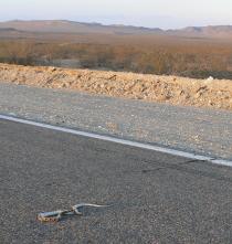 Rattler road kill