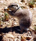 Mojave Ground Squirrel