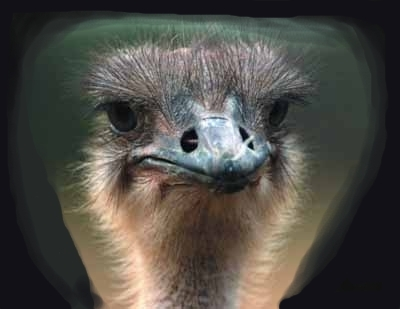 Awake Ostrich